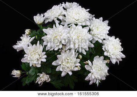 Close-up of white chrysantemum flowers. Macro photography of nature.