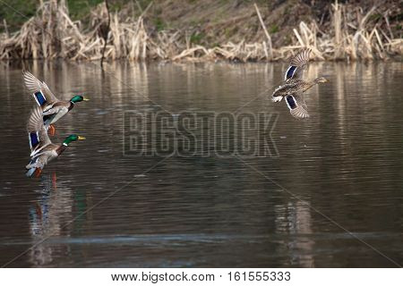 Birds and animals in wildlife. A brown mallard female duck and two male duck flying over the water at the park river landscape. Spring mating season. Courtship