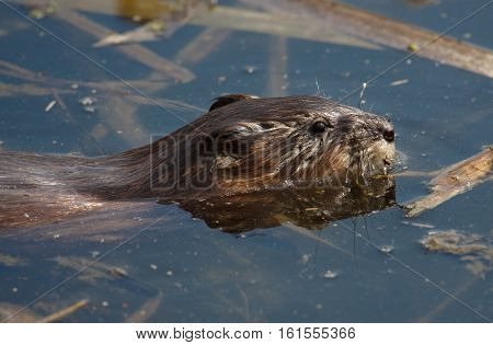 Beaver in the water. Close-up wildlife portrait swimming beaver