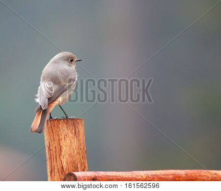 Nightingale on nature background. birds sparrows on a branch in spring