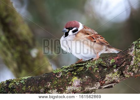 Sparrow on a branch. birds sparrows on a branch in spring