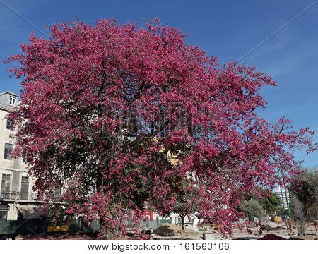 BIg pink magnolia tree in the city and street work