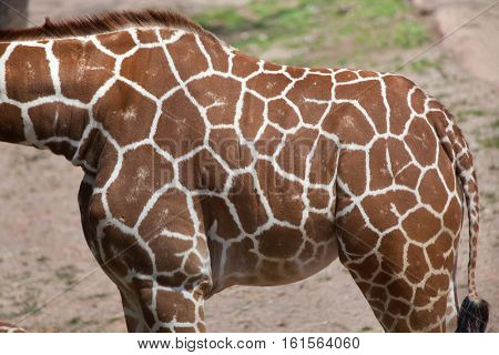 Reticulated giraffe (Giraffa camelopardalis reticulata), also known as the Somali giraffe. Skin texture.