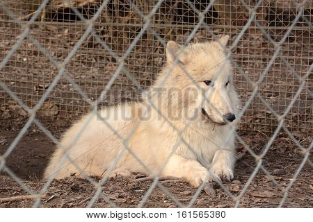 Arctic white wolf looks through the chain link fence in zoo