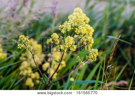 Closeup of a yellow budding and flowering Yellow meadow rue or Thalictrum flavum plant on a summer evening in its natural habitat in the Netherlands.