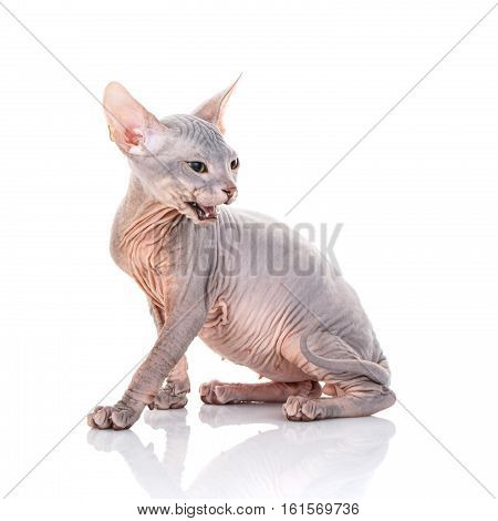 Closeup Portrait of Grumpy Sphynx Cat side view on white Background with open mouth