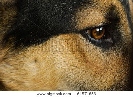 Portrait of a dog. The eyes of a faithful dog. Gaze of a dog