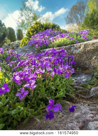 Aubrieta cultorum growing on a rockery