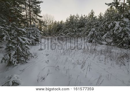 Winter forest ecological system, in which the main form is vital trees