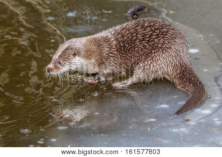 Otter On Frozen River