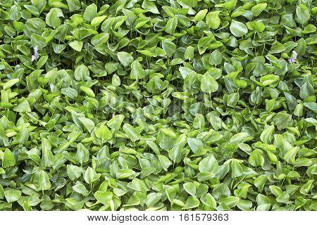 Water hyacinth green background texture,  water, aquatic, natural, environment, pond, water, aquatic, natural, environment, pond,