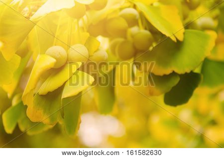 Green and yellow fall leaves of Ginkgo Biloba with fruits - healing plant, nature sunny background