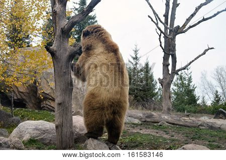 A large grizzly bear in the outdoors