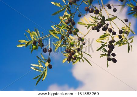 Branch of olive tree with fruits and leaves against blue sky, natural agricultural food background