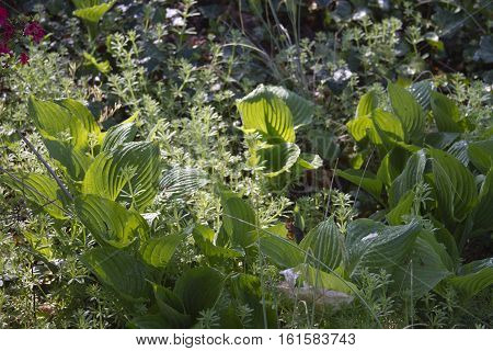 A shady patch of Hosta plants clustered in a summer garden and competing with surrounding weeds