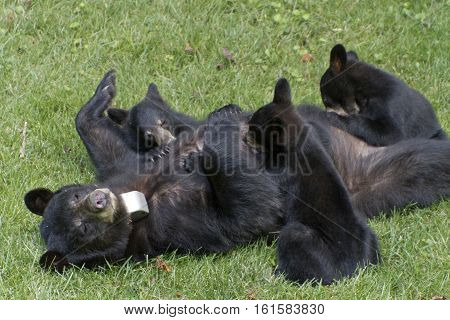 A collared mama black bear nurses her three cubs on a neighborhood lawn in summertime