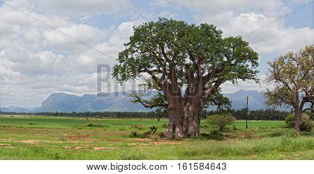Great baobab tree west of Hoedspruit, South Africa