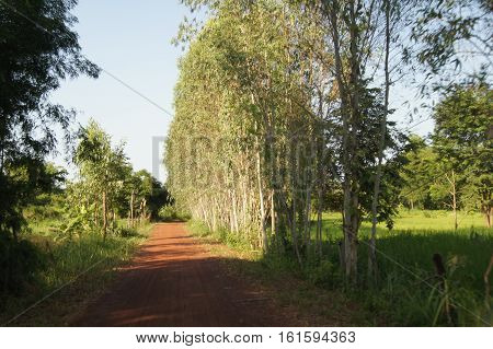 Eucalyptus Trees Planted On Both Sides Of The Road Occurs