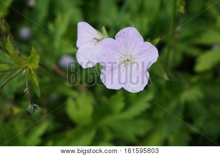 An anemone flower blooms in Joliet, Illinois during May.