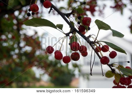 Crab apples cling to a crab apple tree in Joliet, Illinois during October