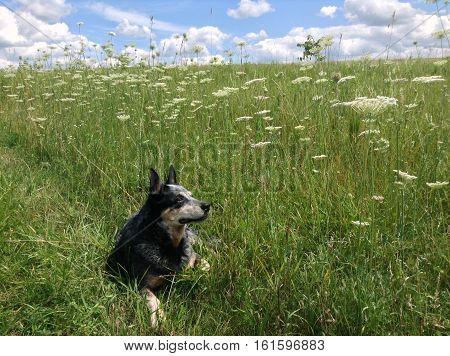 photograph of a blue healer in a field