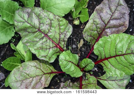 Image of Swiss Chard Growing in the Garden