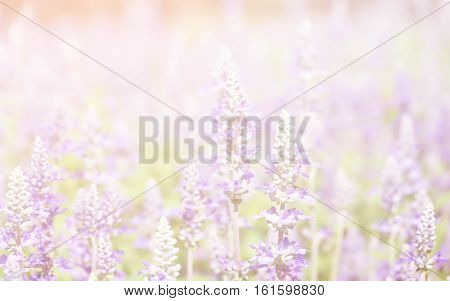 Summer blossoming lavender background selective focus pastel and soft card