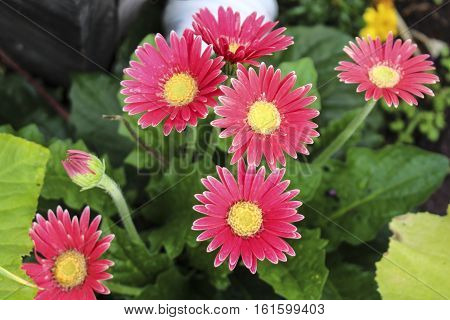 Image of Vibrant Pink Gerber Daisy Blossoms