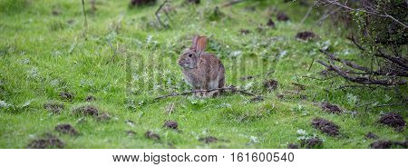 Alert Cottontail Rabbit (Sylvilagus) sitting in grassland