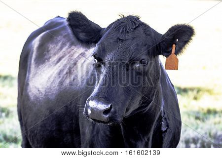 Black Angus cow with red ear tag from the chest up