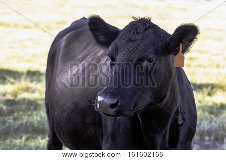 Black Angus cow looking to the left from the chest up