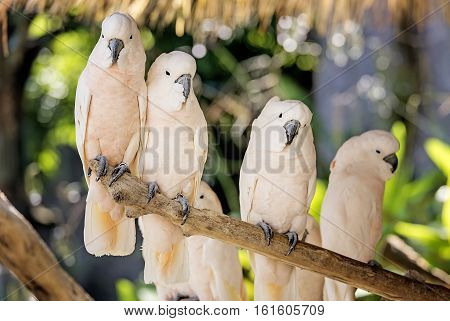 Cute salmon-crested cockatoo on dry branch,white salmon-crested