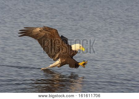Bald Eagle Flying Near Water Preparing To Catch Fish  In Alaska