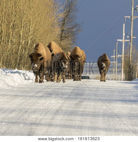 Traffic Jam Caused By Bison In Jackson Hole, Wyoming On Cold Winter Day In Winter