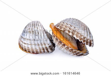 uncooked blood cockle or ark shell on white background