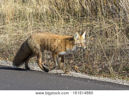 Red Fox Walking On Roadside Gravel By Asphalt Road With Grass In Background