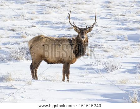 Bull Elk  In National Elk Refuge On Snow With Grass And Sagebrush In Background