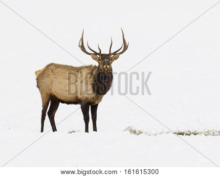Bull Elk In Refuge Feed Ground With Large Set Of Antlers In Wyoming
