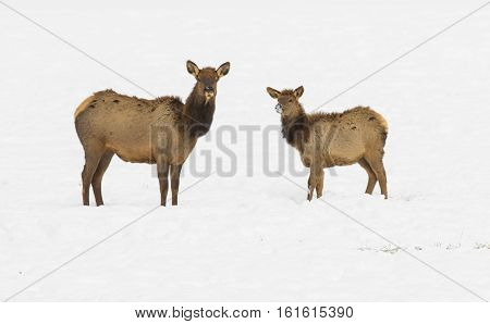 Cow And Calf Elk In Refuge Feed Ground With Snow On Ground During Winter In Wyoming