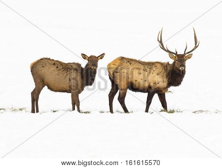 Bull and cow elk in deep snow at refuge