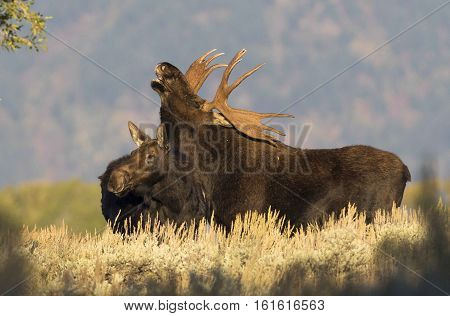 Flehmen Reponse By Bull Moose Over Cow Moose In Middle Of Rut