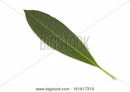 alive, Frangipani leaf isolated on white background