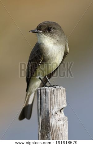 Eastern Phoebe Perched On A Wooden Post - Florida