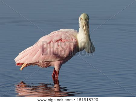 Roseate Spoonbill Standing In A Shallow Pond - Florida