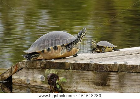 Large And Small Yellow-bellied Sliders On A Florida Dock