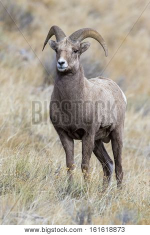 Young Bighorn Sheep Ram Preparing For Rut In The Grass And Sagebrush Meadow