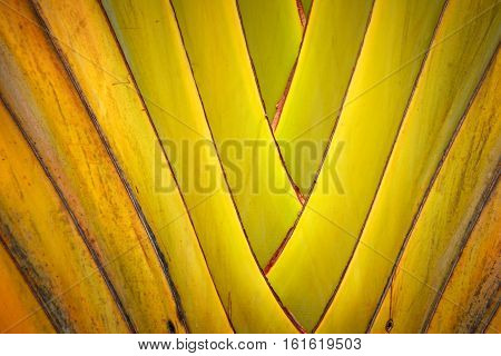 closeup Pattern of ornamental banana leaves branch poster