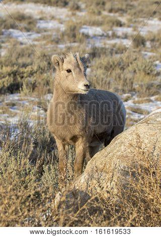 Bighorn Sheep Juvenile In Sagebrush, Grass And Adjacent To Rock In Autumn