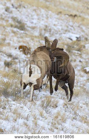 Bighorn Sheep Rams Head Butting During Rut