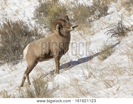 Bighorn Sheep Ram Standing On Hill With Snow And Grass In Background